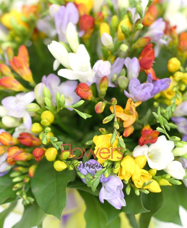49 frezii multicolore, salal